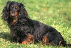 Farne, chien Teckel