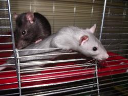 Dana, rongeur Rat