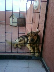 Cap, chien Berger allemand