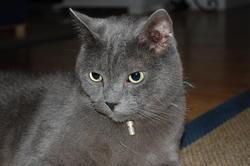 Grisouille, chat Chartreux