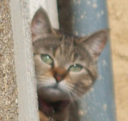Pacotille, chat Gouttière