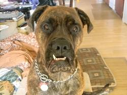 Dynamite, chien Bullmastiff