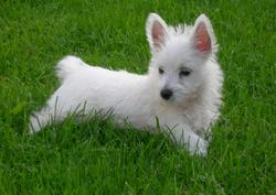 Snoopy, chien West Highland White Terrier