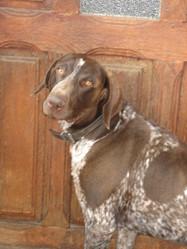 Ulis, chien Braque allemand à poil court