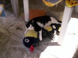 Bouchon, chat Européen