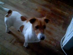 Toupie, chien Jack Russell Terrier