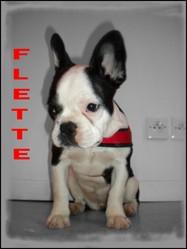 Ronflette, chien Bouledogue français