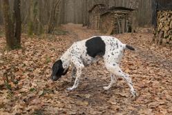 Quetsch, chien Braque d'Auvergne