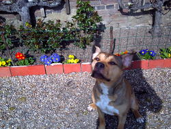 Fuego, chien American Staffordshire Terrier