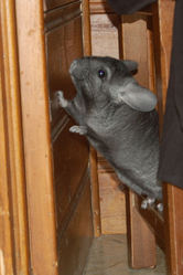 Démon, rongeur Chinchilla