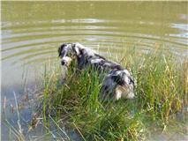 Hugo, chien Berger australien