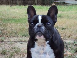 Bounty, chien Bouledogue français