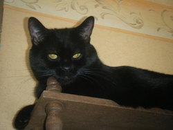 Teo, chat Européen
