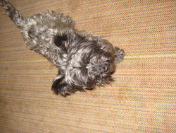 Lola, chien Cairn Terrier