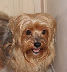 Chelsy, chien Yorkshire Terrier