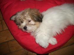 Émylou, chien Coton de Tuléar