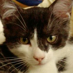 Olympe, chat Européen