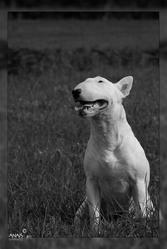 Esperanza Offweedman, chien Bull Terrier