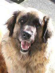 Utha, chien Leonberger