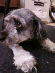 Diana, chien Lhassa Apso