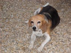 Kenza, chien Beagle