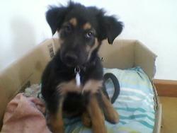 Faeny, chien Beauceron