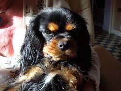 Boogie, chien Cavalier King Charles Spaniel