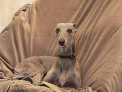 Darill, chien Lévrier écossais