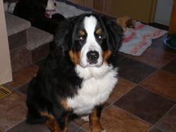 Lio, chien Bouvier bernois