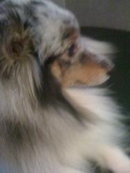 Clyde, chien Berger des Shetland