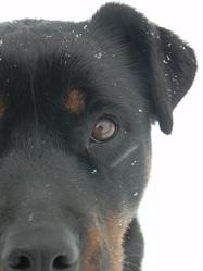 Kahuna, chien Rottweiler
