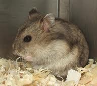 Titi, rongeur Hamster