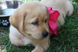 Kayla, chien Labrador Retriever