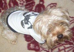 Benji, chien Yorkshire Terrier