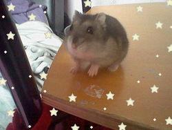 Graton, rongeur Hamster