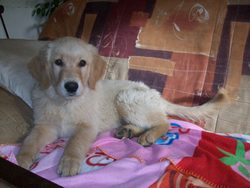 Edgare, chien Golden Retriever