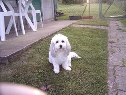 Baika, chien Coton de Tuléar