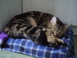 Maki, chat Gouttière