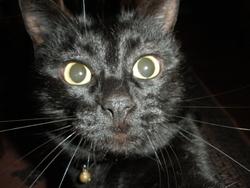 Negro, chat Gouttière