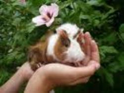 Tac, rongeur Cochon d'Inde
