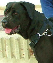 Leika, chien Cane Corso