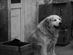 Zoulou, chien Golden Retriever