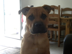 Fonzy, chien Cane Corso