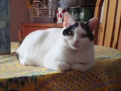 Violette, chat Japanese Bobtail