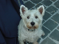 Frimousse, chien West Highland White Terrier