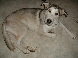 Cally, chien Husky sibérien