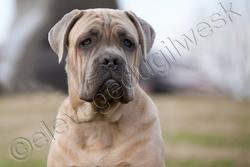 Terence Del Rosso Malpelo, chien Cane Corso