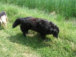 Nounours, chien Labrador Retriever