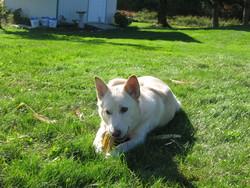 Aby, chien Husky sibérien