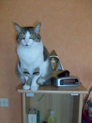 Ramsès, chat Européen